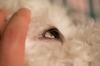 White spot on dog's eye - photo 1