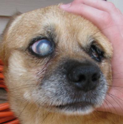 Treatment for trauma eye cataract in dog