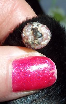 Update on Dog's Ear Wart - Organic Pet Digest