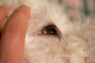 White spot on dog's eye - photo 3